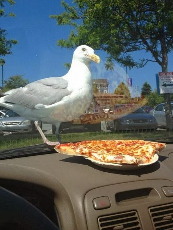 Funny animals of the week - 27 December 2013 (40 pics), seagull and pizza