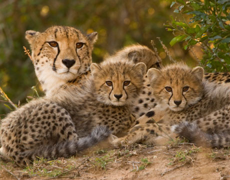 Female Cheetah with her Family