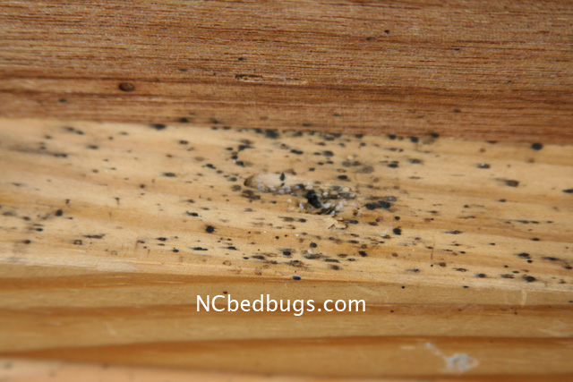 Dr. Bed Bug   Free Education Material On Bed Bugs (Cimex Lectularius)