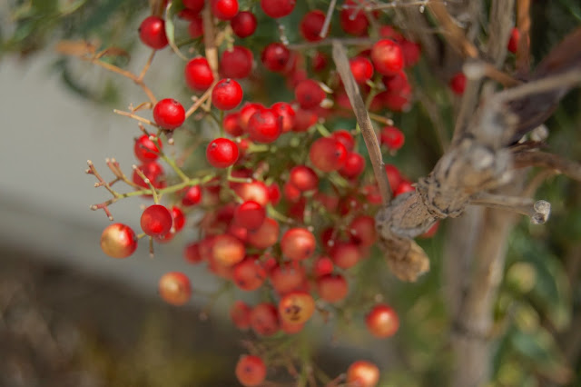 red berries on bush