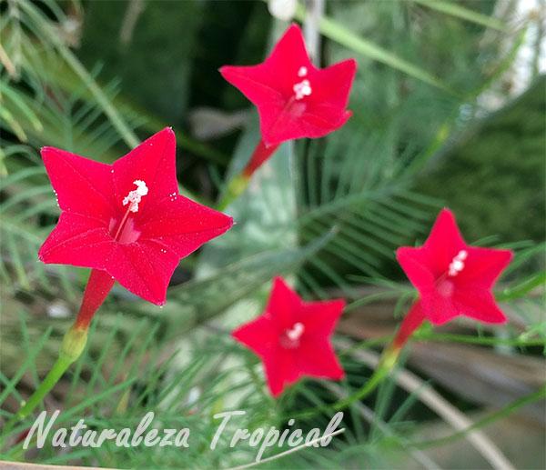 Flores de la planta Ipomoea quamoclit