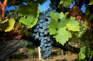 Italian grape varietals