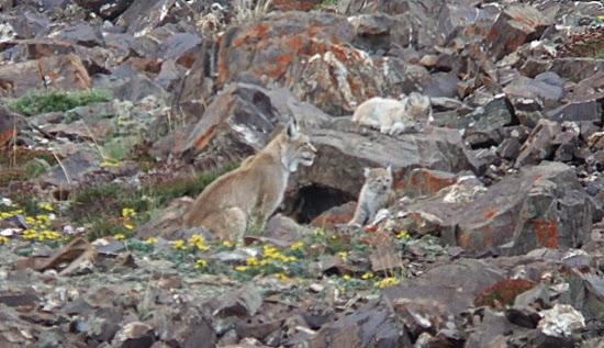 http://vozpopuli.com/next/46751-fantasmas-en-la-nieve-cuatro-espanoles-en-busca-del-felino-mas-esquivo-del-himalaya