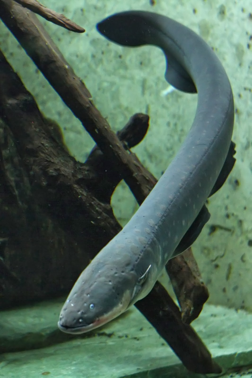 Eel Electric City Electric Eel Electrophorus
