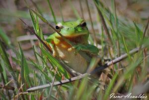 Ranita meridional (Hyla arborea)