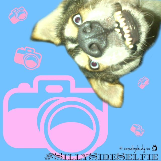 Silly Sibe Selfie #SiberianSaturday