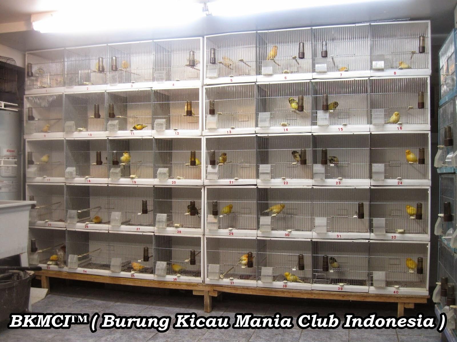 http://burungkicau-indonesia.blogspot.com/2014/11/cara-budidaya-ternak-burung-kenari.html