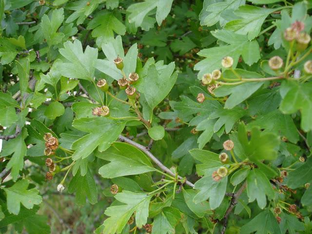 Flores, frutos y hojas del majuelo (Crataegus monogyna)