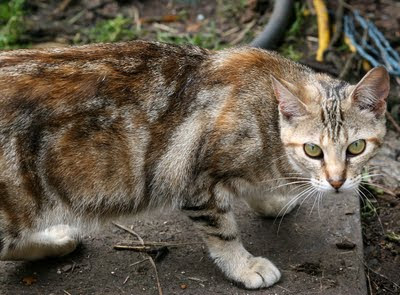 a feral cat - brown reticulated tabby is suspicious, wonders what I am looking at