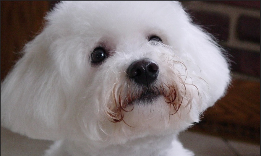 Bichon Frise: Pictures and Description - Pet Care