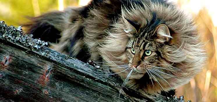 Kucing Hutan Norway