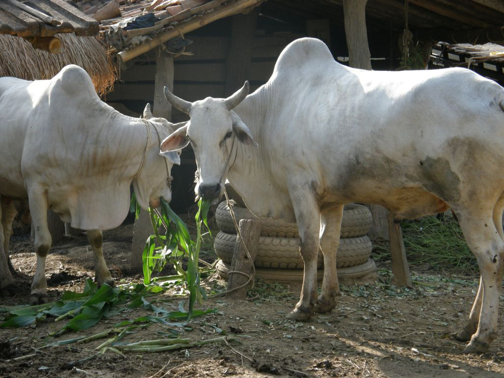 qurbani ox - photo #27