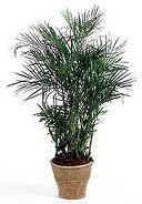 Una casa sana plantas purificadoras 10 palmera bambu chamaedorea seifrizii - Bambu planta exterior ...