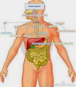 http://www.juegosgratisconchi.com/wp-content/uploads/2010/10/aparato-digestivo1.swf