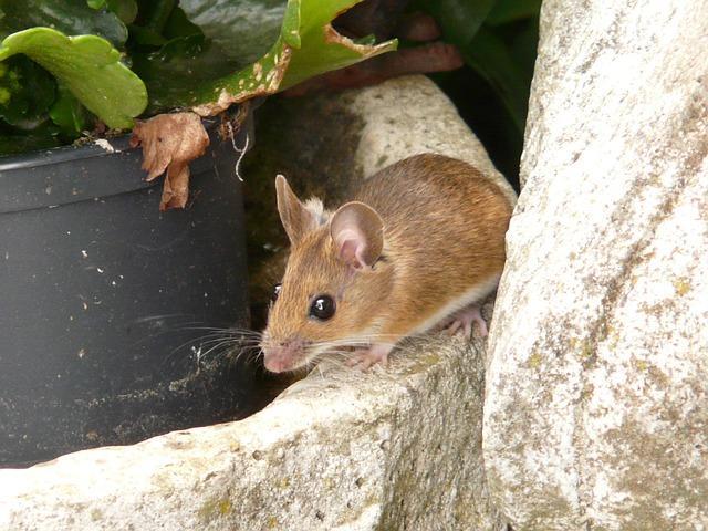 Imagem de Rato Cliques Diveros