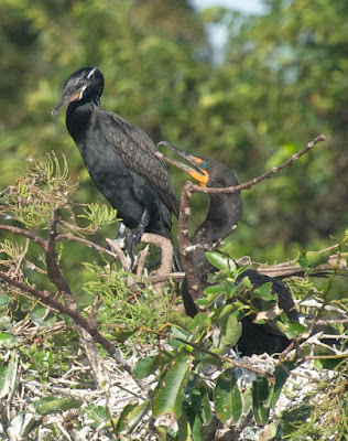 Double-crested and Neotropic Cormorant