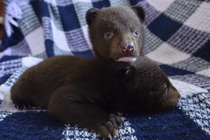 Cute Himalayan Bear