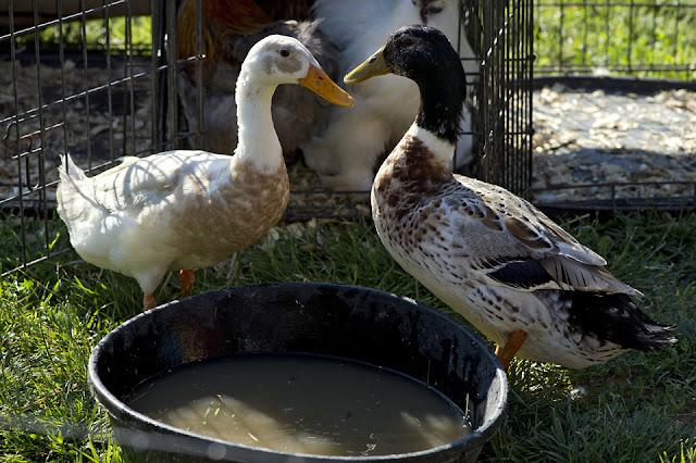 Ducks, Northside, Petting Zoo, Market
