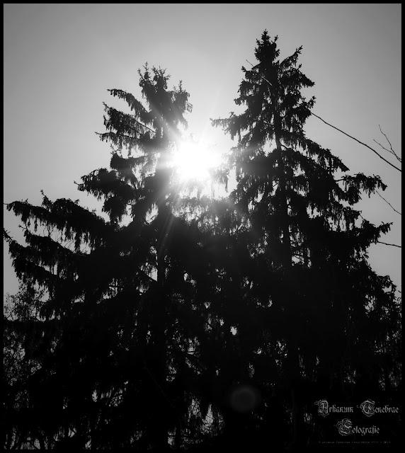 Sonnenstrahlen durch Tannen