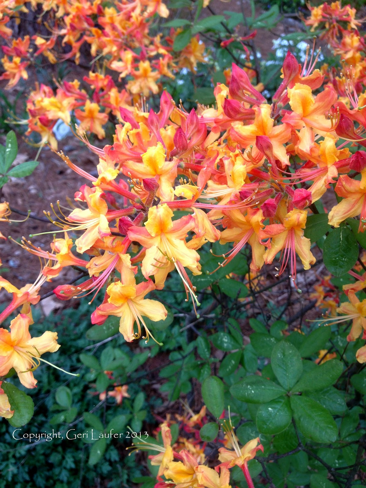 Crabapple Landscapexperts 20 Top Orange Flowers For Atlanta