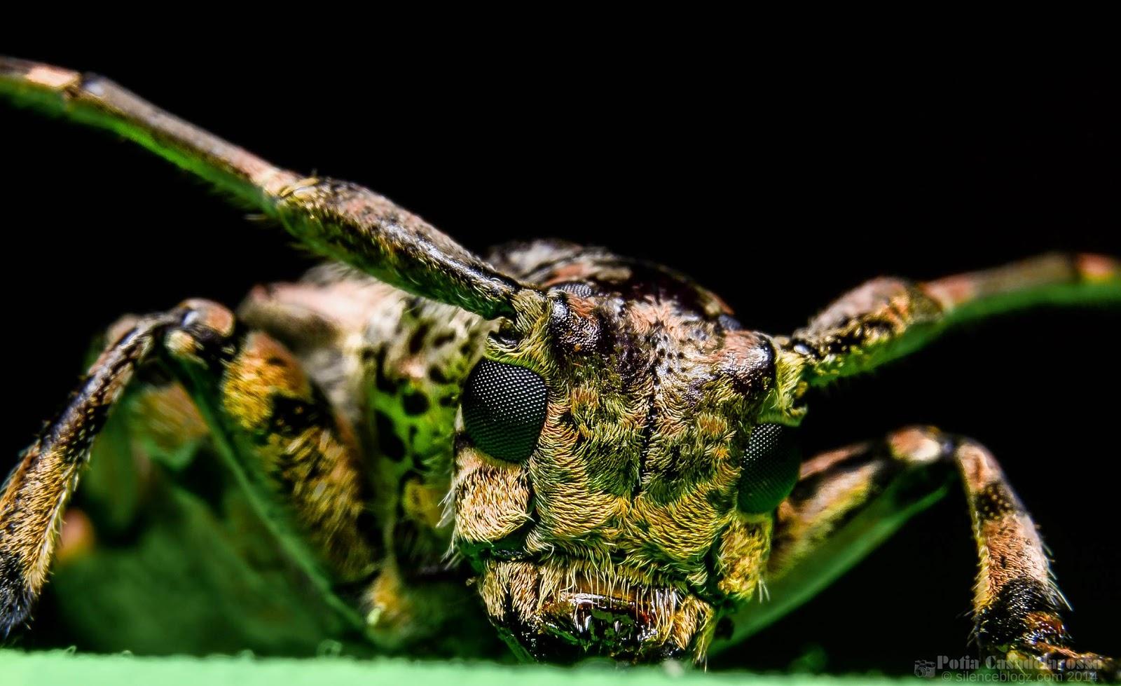 Mulberry-Longhorn-Beetle
