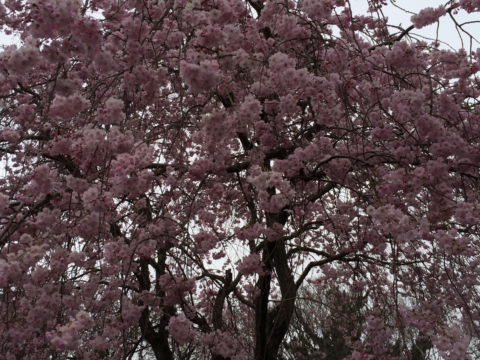 ome-gyokusenzi-sakura