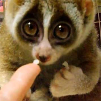Slow Loris Kinako