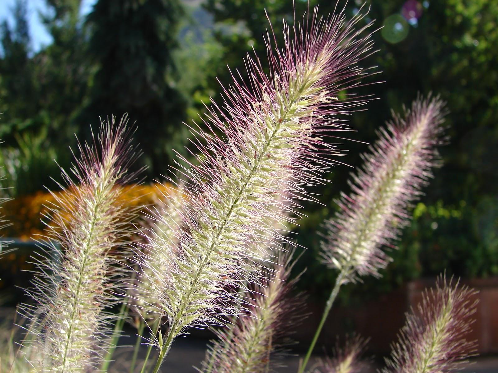 New utah gardener pennisetum alopecuroides waterwise for Hardy grasses for the garden