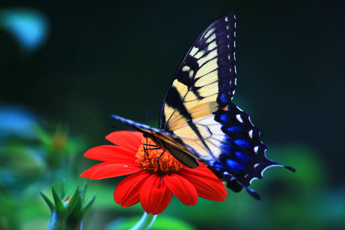 butterfly wallpaper - free download wallpaper | free wallpapers mag
