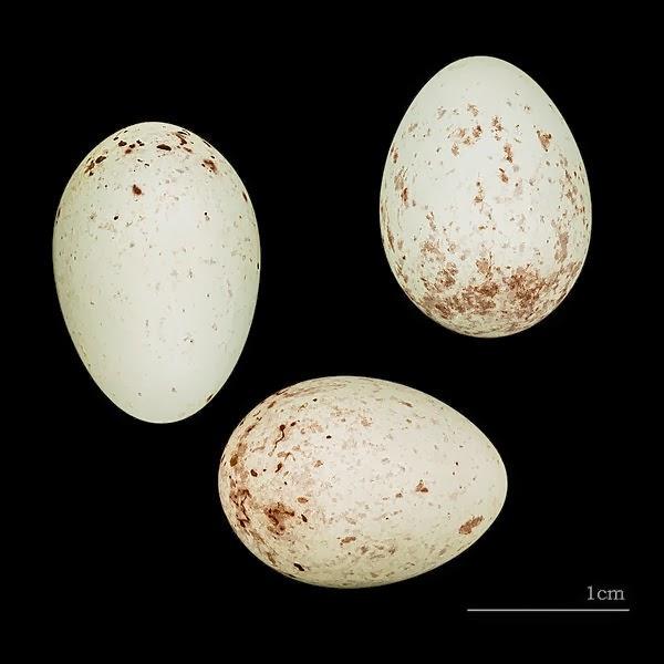 Foto Telur Burung Kenari Kicau Nyaring Gacor