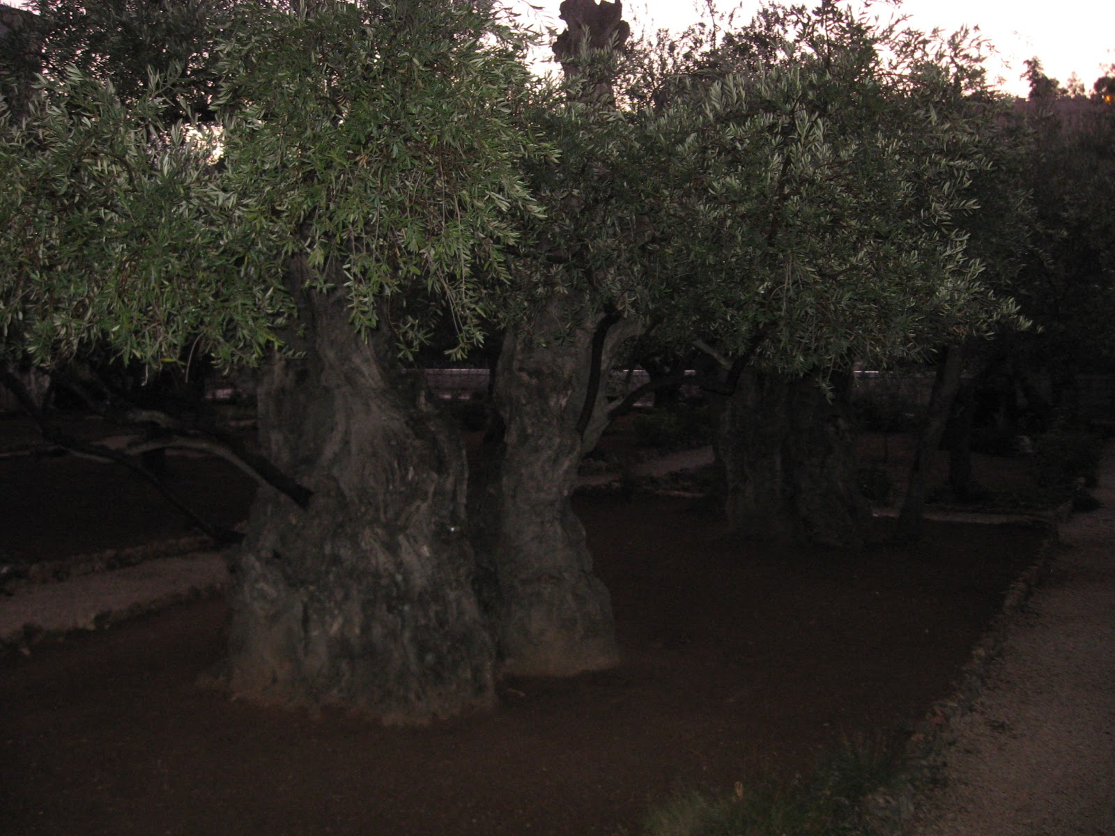 Sacred space102fm the ancient olive trees of gethsemane for Age olive trees garden gethsemane