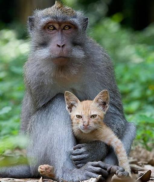 monyet sayang kucing atau Menganiaya Kucing