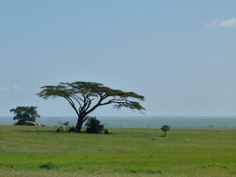 Safari Ecology Why Do Savanna Trees Have Flat Tops