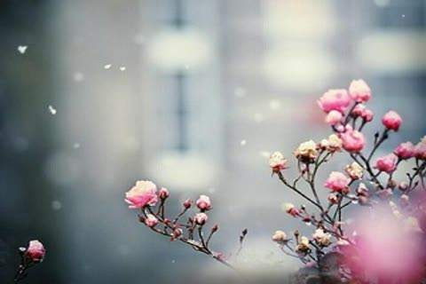 sno   wy-pink-flowers-