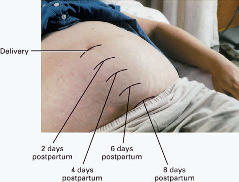 Fundal Height Postpartum