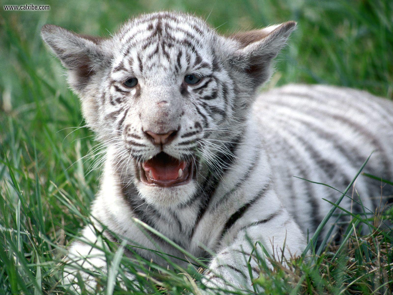 Save White Royal Bengal Tigers ~ MyClipta