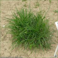 http://plantsgallery.blogspot.com/2014/02/miscanthus-sinensis-gnome-miskant.html