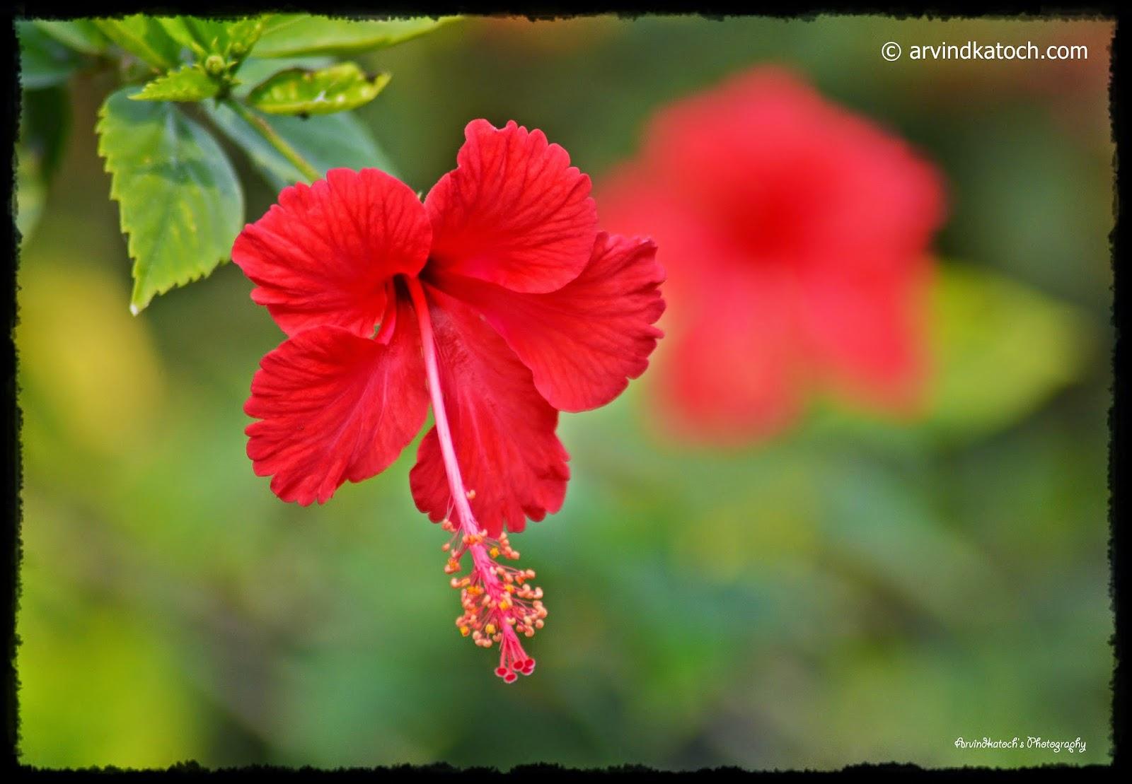 Hibiscus, Flower, Red Flower, Garden Flower