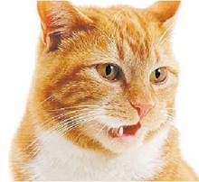 mad about pets why does my cat smell something then open his her mouth. Black Bedroom Furniture Sets. Home Design Ideas