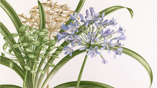 Agapanthus sp. by Pandora Sellars