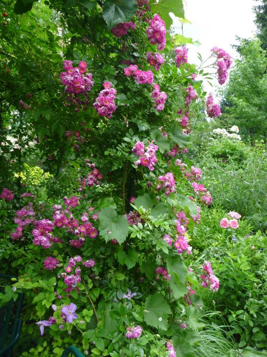 rambler rosen schneiden freizeit kletterrosen in form gebracht rambler und rambler rosen. Black Bedroom Furniture Sets. Home Design Ideas