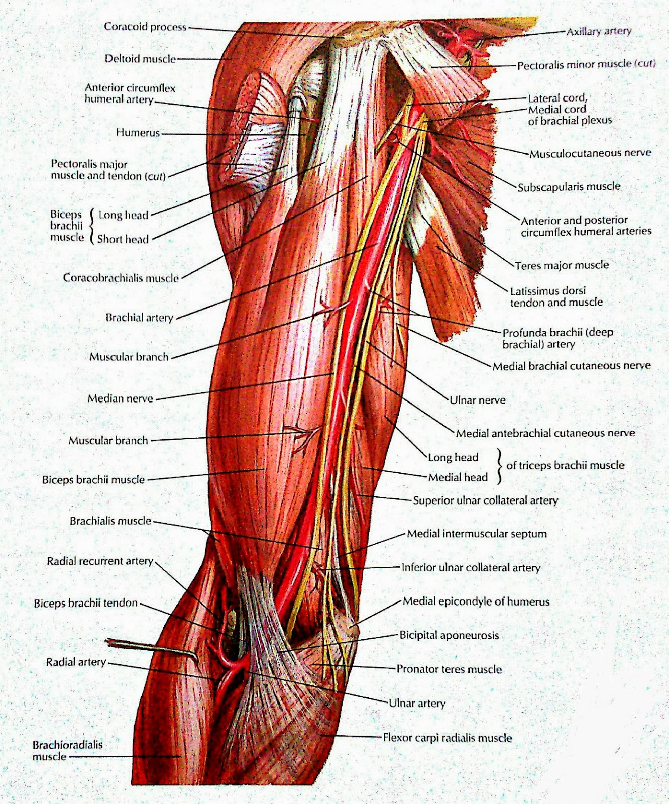 brachial artery and its branches & nerves in brachium | VISUAL ANATOMY