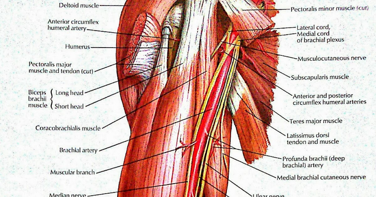 Brachial Artery And Its Branches Nerves In Brachium Visual Anatomy