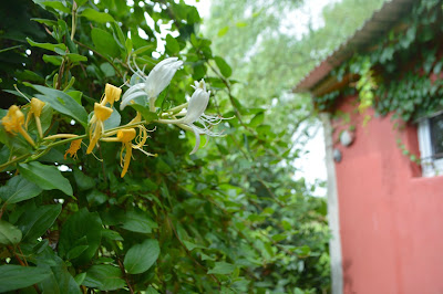 Madreselva silvestre, Lonicera japonica. Invasora, enredadera perfumada.