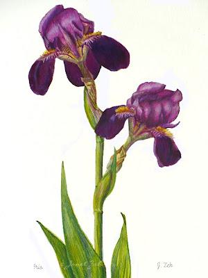 Purple bearded iris in watercolor