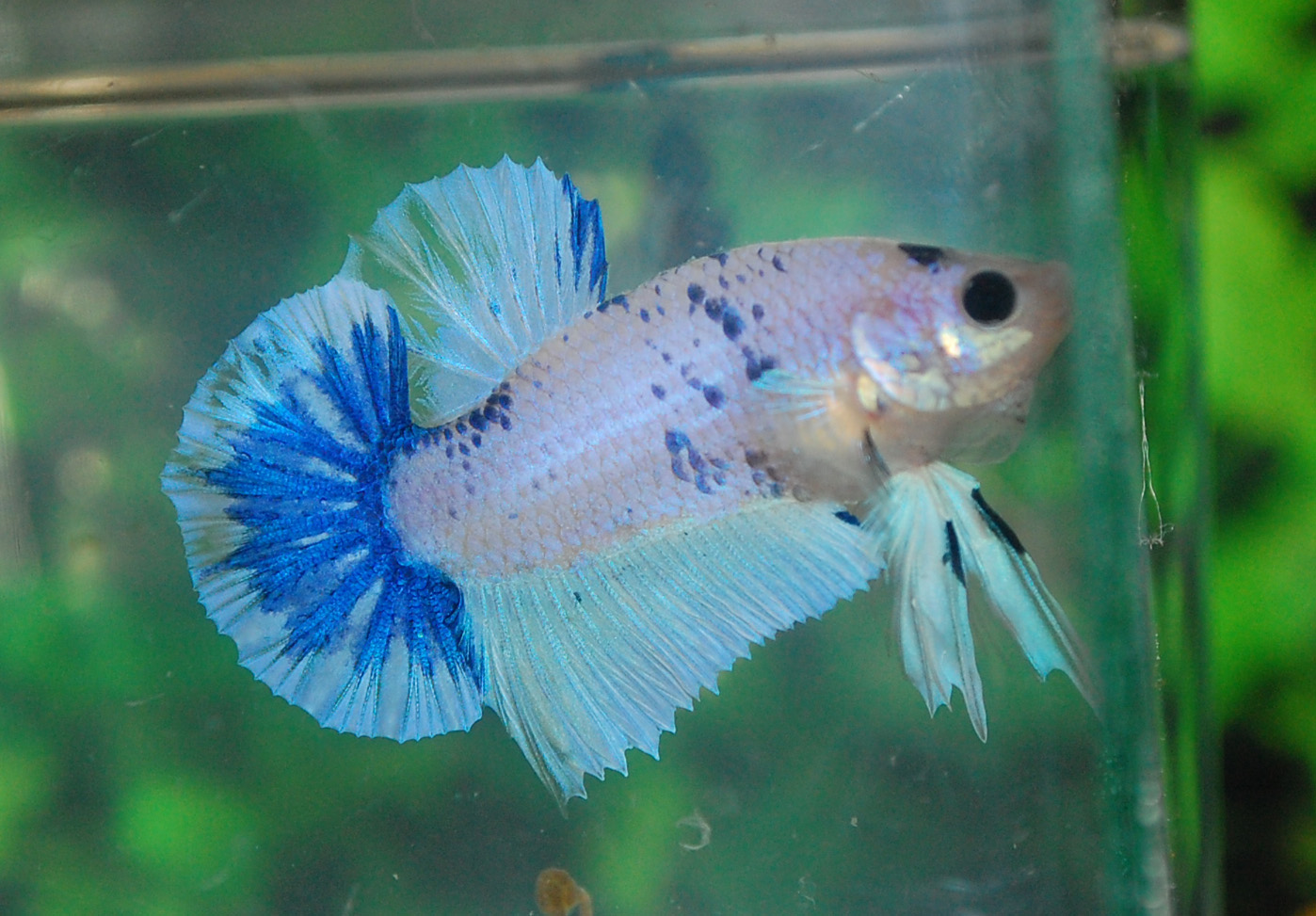 Betta fish afira betta hmpk 15 april marble all sold out for All about betta fish