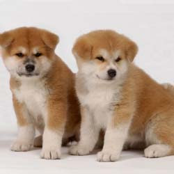 Akita Puppies Pictures