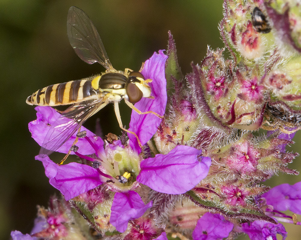 Hoverfly, Sphaerophoria species, female, on Purple Loosestrife, Lythrum salicaria.  On the River Medway, 25 July 2014.