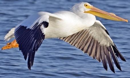 Animales fotos dibujos imagenes fotos de pelicanos - Fotos de pelicanos ...
