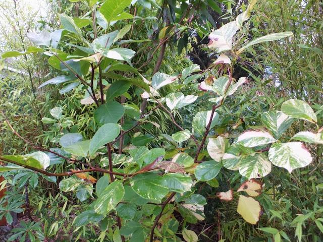Magnolia denudata 'McCracken's Variegated'